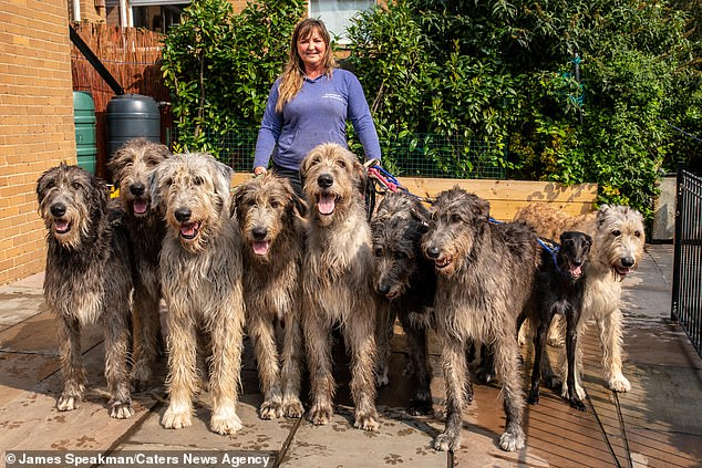 Claire with some of her dogs. The breeder said her pack of Irish Woldhounds earned her strange looks in the street but that she didn't mind