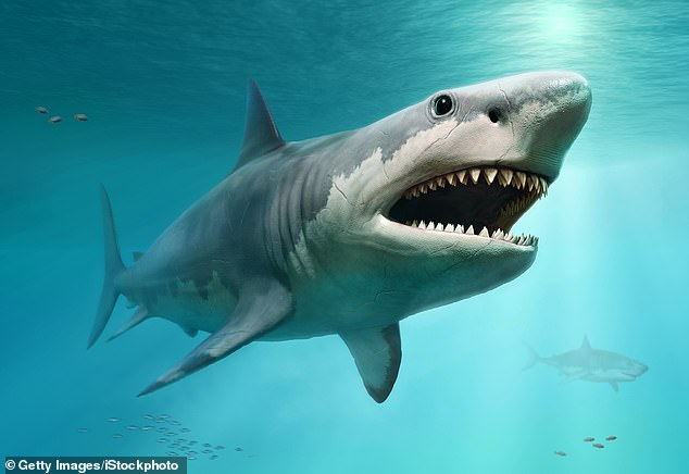 The tooth given to the prince once belonged to a megalodon (artistic rendering shown), an extinct species of giant shark that could grow up to 52 feet