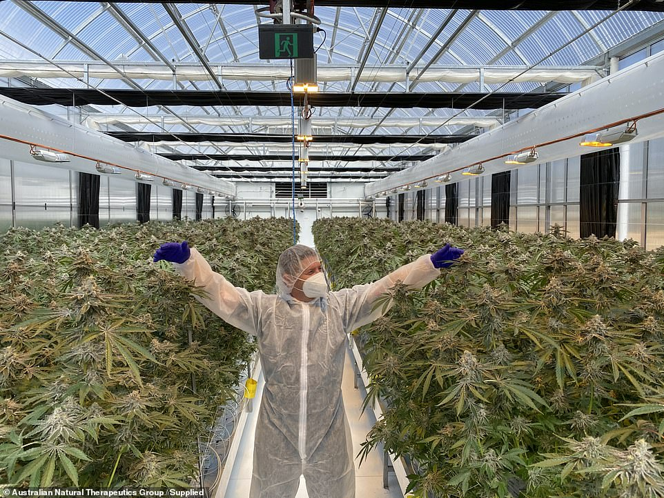 Australian Natural Therapeutics Group are growing plants in NSW (pictured) for medical grade cannabis oil extract