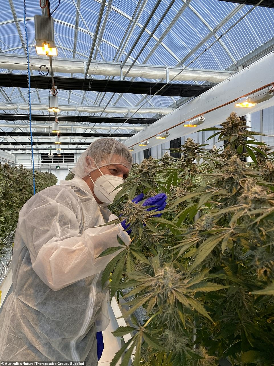 A cultivator inspects thecannabis crop to make sure the product is free of impurities and to the highest medical standard