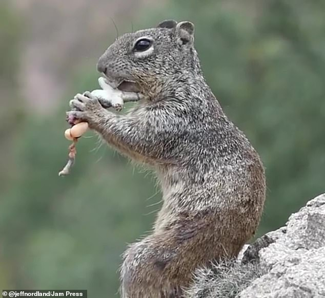 Biologist Jeff Nordland was travelling through Arizona looking for wildlife photography opportunities when he came across a squirrel munching on a lizard