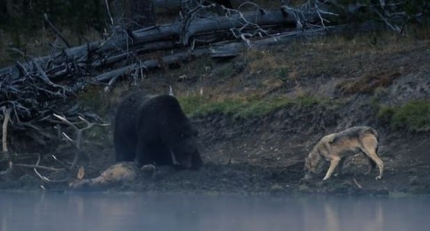 In the turmoil that ensued on September 23, the lone wolf approaches the corpse while the bear stays close to killing it.