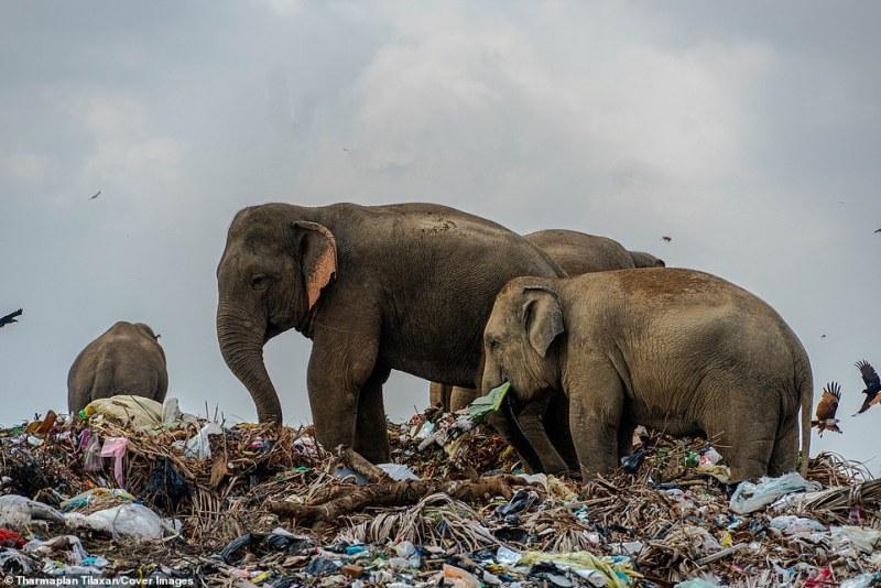 Os elefantes caminham pelo grande lixão, que tem resíduos fornecidos por distritos como Sammanthurai, Kalmunai, Karaitheevu, Ninthavur, Addalachchenai, Akkaraipattu e Alaiyadi Vembu