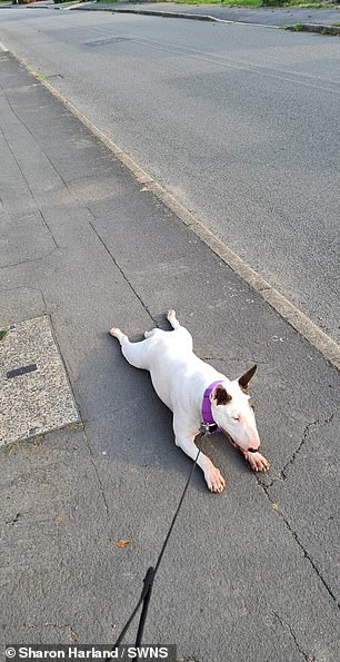 Fidget will play dead when she realises it is time to go home after a walk in Hinckley, Leicestershire