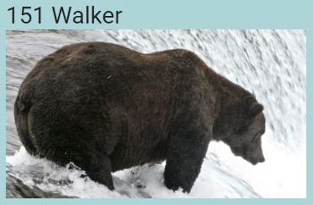 Popular and portly Walker is seen eyeing off salmon before he spends the next several months hunkered down