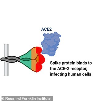Pictured,a diagram showing the shape and structure of the SARS-CoV-2 virus and its spike