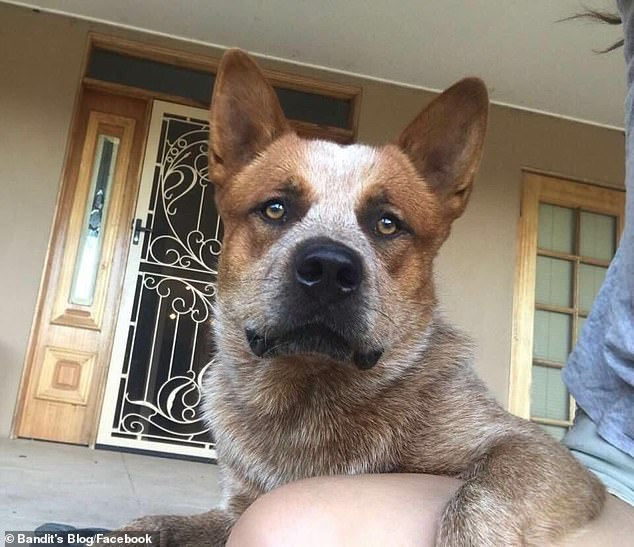 Bandit (pictured) has been locked up by for three years and one month after he was declared a dangerous dog by Scenic Rim Regional Council in Queensland