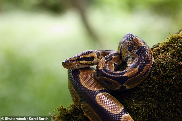 Only certain snakes can hunt in the dark, and they all have the pit organ, including boa constrictors and pythons
