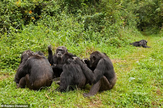 A large group of individuals including both older and younger male chimps seen here grooming together