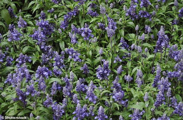 Sage (salvia officinalis) in the garden. The delicate flowers are also edible and may be added to salads