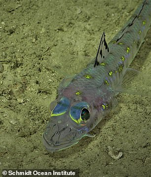 'This unexpected discovery affirms that we continue to find unknown structures and new species in our ocean,' said Schmidt Ocean Institute co-founder Wendy Schmidt. Pictured, a fish spotted by the SuBastian robot during its dive