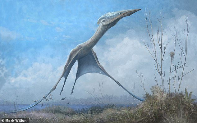 The researchers found that, over time, pterosaur adapted their shape and size as so they could fly while expending 50 per cent less energy — even while increasing their body mass by up to tenfold. Some of the reptiles weighed almost a third of a ton. There was one exception to this rule, however, the team found. One group — the so-called azhdarchoids — did not improve their flight performance over time. Instead, these creatures — which included the Cessna-sized Quetzalcoatlus and Hatzegopteryx (pictured) — seemed to get more of a survival advantage out of their large size