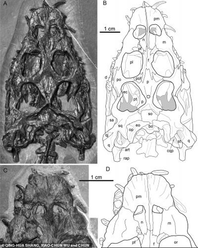 Photographs and outlines of the skull and the mandible in dorsal view. Nothosaurs were Triassic animals which had long necks and normally an even longer tail used for propulsion, but this creature is an unusual specimen due to its flat tail