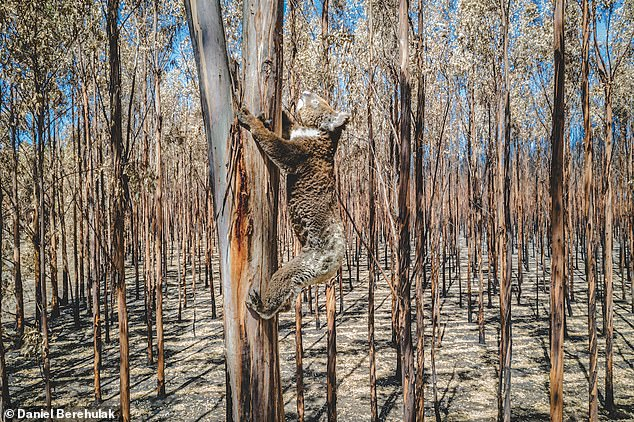 Mr Wild said the koalas had flocked to less badly-burnt areas where some food resources remained