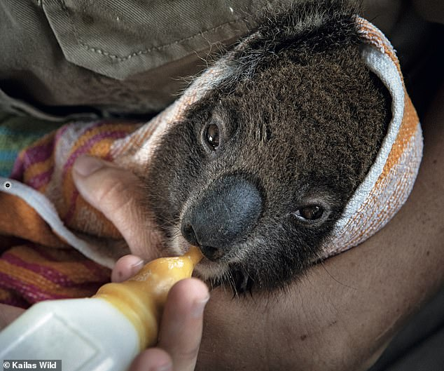 The wildlife park was inundated with koalas (one pictured), with around 600 going through the centre in the aftermath of the bushfires