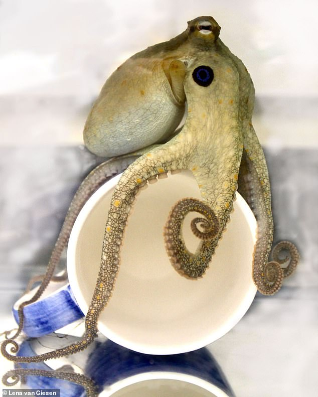 Close up of an octopus touching a cup. Each of its eight tentacles can still grip after being separated from the body for at least an hour