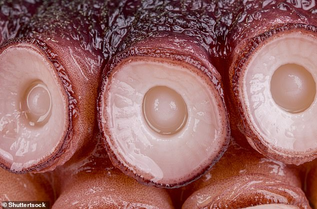 Close up of an octopus's suction cups lining its eight tentacles. Scientists identified a novel family of sensors in the first layer of cells in the suction cups that have adapted to respond and detect molecules that do not dissolve well in water. These sensors, called chemotactile receptors, use these molecules to help the animal find out what it is touching and whether that object is prey