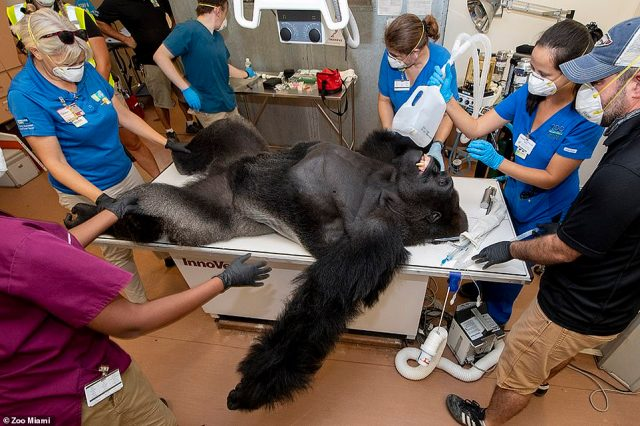 Veterinary dentist Jamie Berning and her veterinary technician, Jill Bates, traveled to Miami from Columbus, Ohio, to perform procedures on a variety of animals