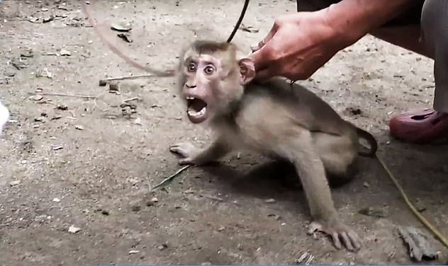 PETA investigators visited eight farms where monkeys are forced to pick coconuts-including those for Thailand's major coconut milk producers, Aroy-D and Chaokoh, as well as several monkey-training facilities and a coconut-picking competition
