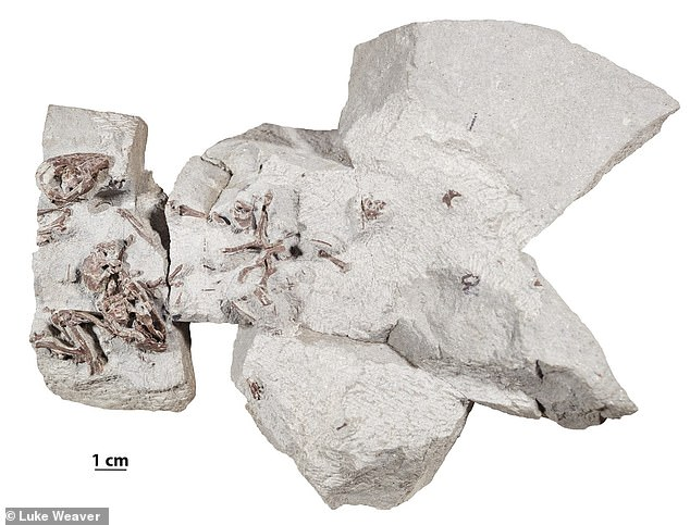 The small mammals — dubbed 'Filikomys primaevus', which translates to 'youthful, friendly mouse' — represent a new genus of the so-called multituberculates. Pictured, the fossilised remains of two adult and one juvenileFilikomys primaevus