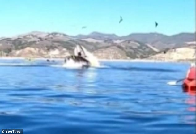 The pair were lifted into the air in the jaws of the whale but they fortunately managed to escape