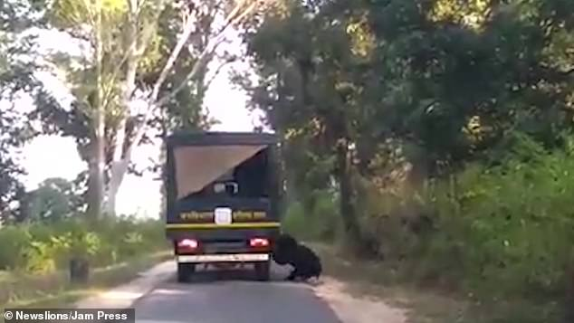 The black beast gave chase as it tried to clamber on to the open-back truck several times