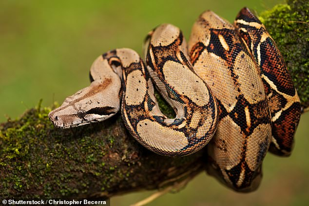 Boa constrictors, which are non-venomous, shed their skin between four and 12 times a year