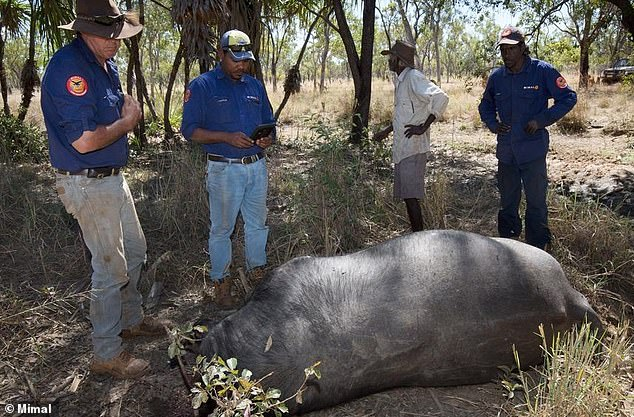 Poachers illegally shoot and behead buffaloes and leave their carcasses to rot on sacred Aboriginal land
