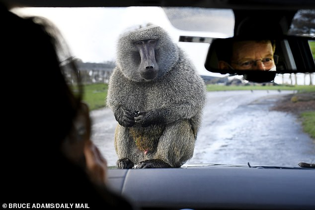For reasons no one seems able to explain, and despite frantic lobbying, the Government has closed all safari parks as part of this second English lockdown. Pictured: A baboon perches on a car bonnet