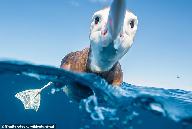 Thetoroa, also known as the Antipodean albatross, was in the lead as of Friday, The Independent reported [File photo]