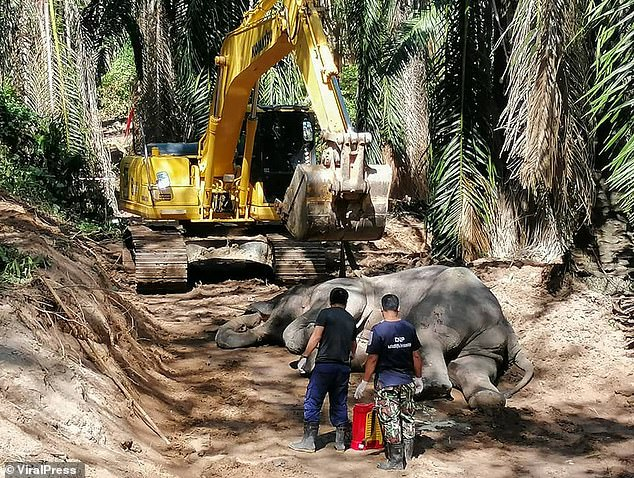 The wild elephant had to be lifted by a digger in order to bury it