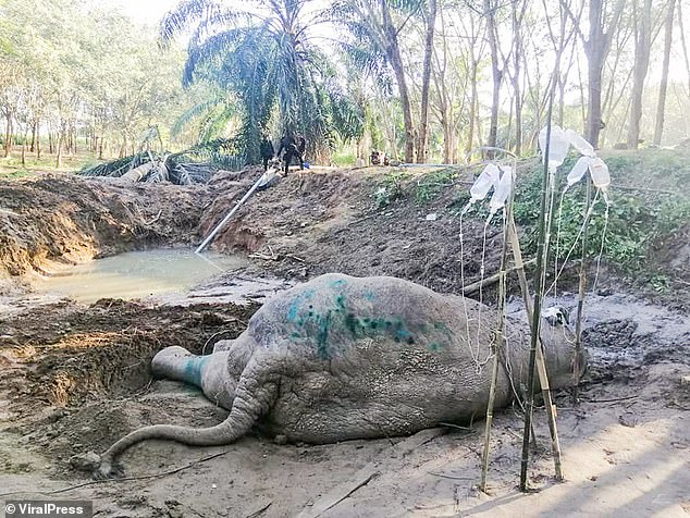 The large animal was found collapsed near a muddy pool after sustaining serious injuries