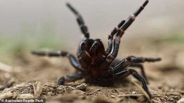 Australia's deadly funnelweb spider. The factory will produce anti-venom for people bitten