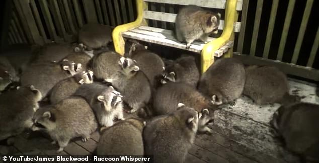 Retired Canadian Mountie James Blackwood has been looking after these raccoons in Nova Scotia for over two decades after his wife made it her last wish before she died from cancer