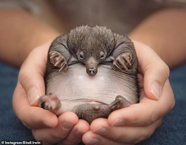 Bindi's big announcement: On Tuesday, Wildlife Warrior Irwin, 22, shared a sweet picture as she welcomed the newest member of the family at Australia Zoo. She revealed the zoo's hospital is now taking care of an echidna puggle
