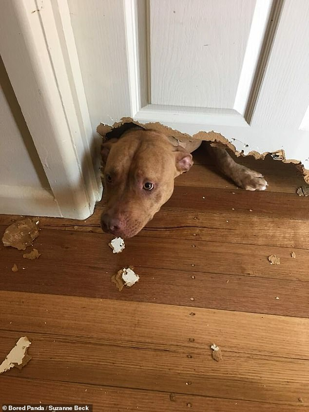 This dog is adequately named Chaos, and was caught by his owner after tearing a hole in her living-room door