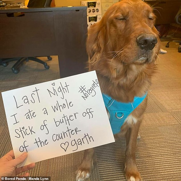 A Golden Retriver from Montana was caught eating a whole stick of butter in the kitchen, but did not seem to care