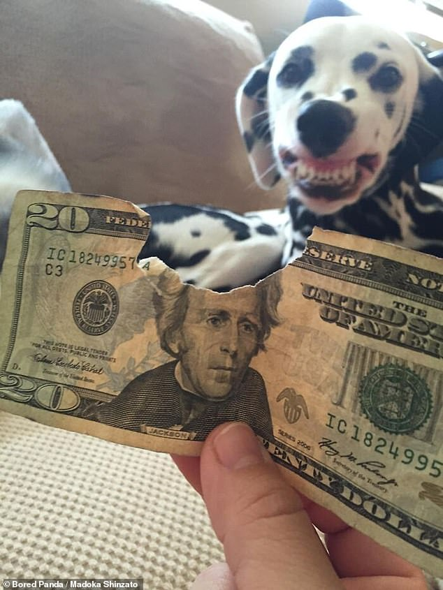 This cheeky Dalmatian from the US was not one bit sorry it took a bite off its owner's 20 dollar bill