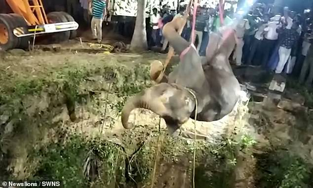 An elephant that fell 50ft down a well after being chased by a pack of dogs is hauled to safety by a crane inthe village of Panchapali in southern India's Tamil Nadu yesterday