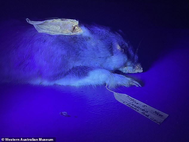 A bilby specimen stored at the Western Australian Museum under UV light was found to have glowing ears and fur by researchers