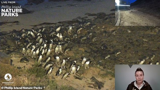 Now, with an estimated 13 million Australians back in lockdown, Live Penguin TV is making a comeback.The penguin parade will be streamed every night from 6pm on Tuesday for 'at least a couple of weeks', Phillip Island Nature Parks said