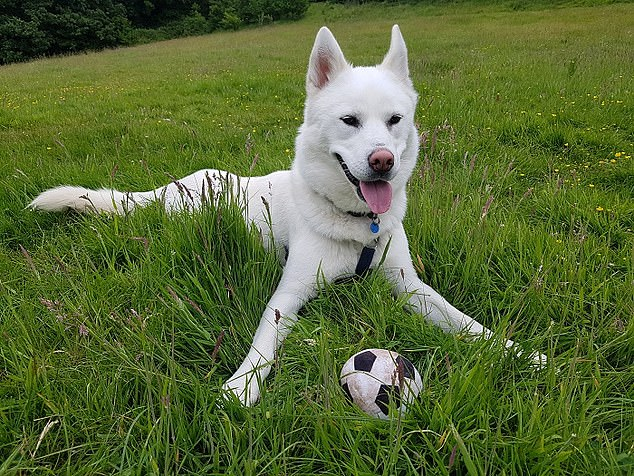 Two-year-old husky Simba is a lovely pup who has spent almost a year in the care of RSPCA Little Valley in Devon