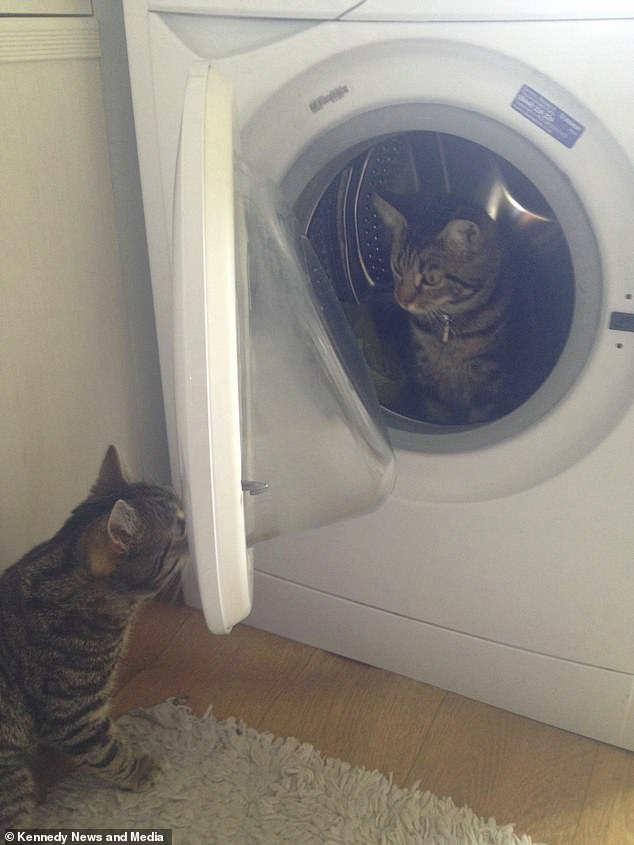Caesar the six-year-old cat was caught shutting his girlfriend Kimber in a washing machine at his owner Sam Beacon's home in Ripley, Derbyshire