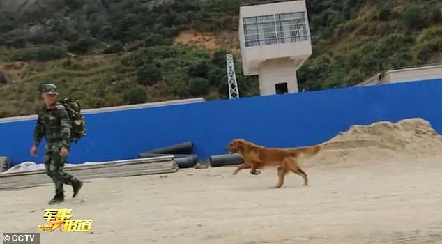 The golden retriever in China, Da Mao, had a hard time watching its trainer retire. It tried to stop its trainer from leaving as it ran towards the man after breaking free from the leash