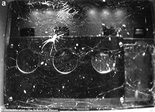 The team found that webs in microgravity sprung up and ended up being more symmetrical (as in the picture, lights back on) than the surface of the Earth in the dark.  Also, in these situations, spiders did not always position themselves with their heads on their webs - ready to fall down - just as they do on Earth.