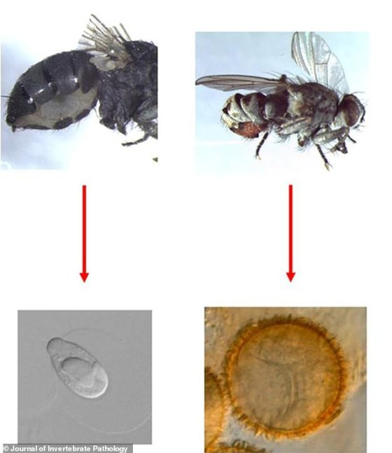 The host-specific fungus Strongwellsea tigrinae (root) produces only adult Coenosia tigrina flies.  Researchers estimate that only 3 to 5 percent of the fly's population is infectious, enough to reduce the fungus.