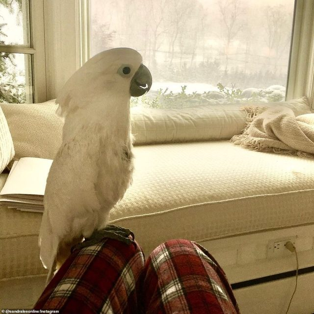 Staying cozy and warm inside: Lee pictured posing with her white cockatoo named Phoenix inside the Mt. Kisco home
