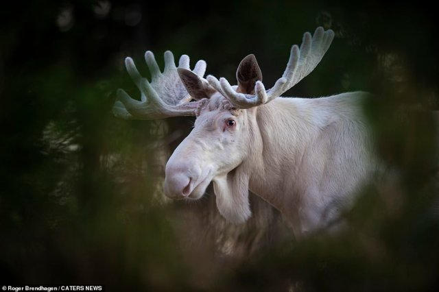 Moose's whiteness does not come from albinism but is rather the result of a recessive gene which causes the animal to grow white fur with specs of brown