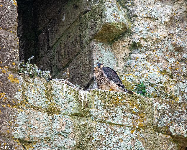 Wildlife winners of the pandemic include a pair of peregrine falcons spotted nesting at Corfe Castle