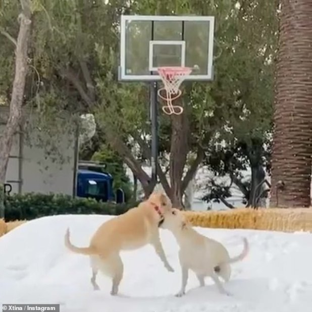 Puppy love: Christina also shared a clip of her yellow lab puppies Mowgli and Ballu running around and playing what was the first snow.